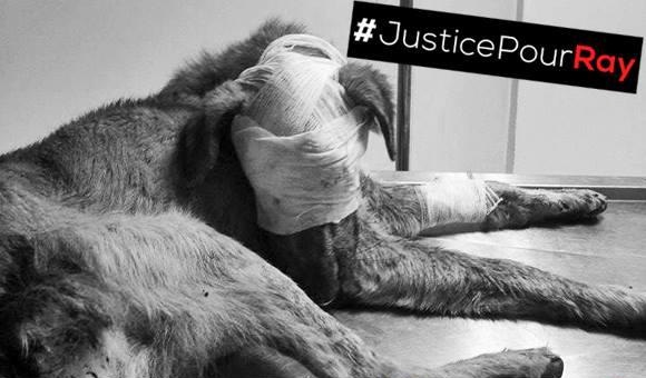 Le Maroc se mobilise pour Ray, le chien torturé 2